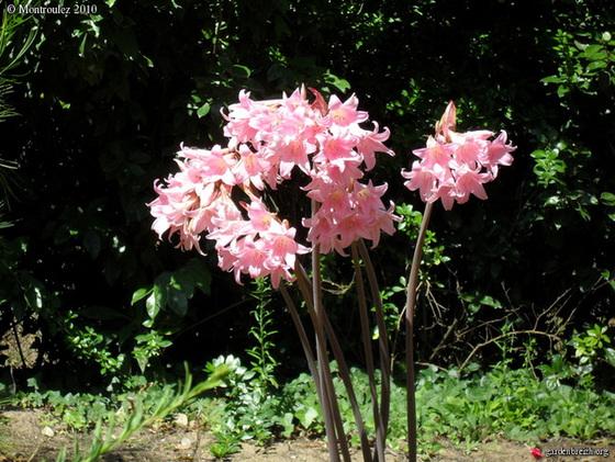 Amaryllis belladona 987