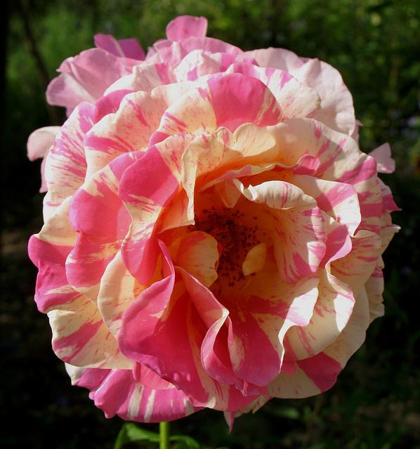 rosier 'Camille Pissaro' 9ness10
