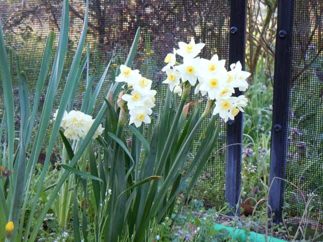 allium neapolitanum - Allium neapolitanum - ail de Naples 9zaza10
