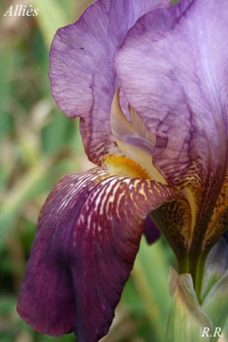 Iris 'Alliés' - Vilmorin-Andrieux et Cie 1930 Alliea11