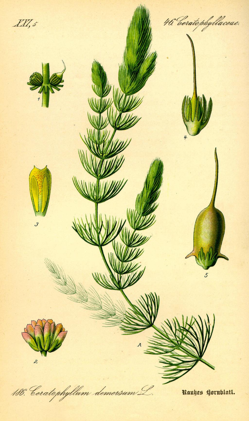 Ceratophyllum demersum - cornifle immergé Cerato10