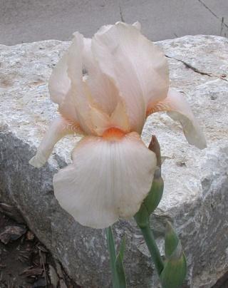 Iris rose Constance Wattez ? - Lilou [identification en cours] Cotton10