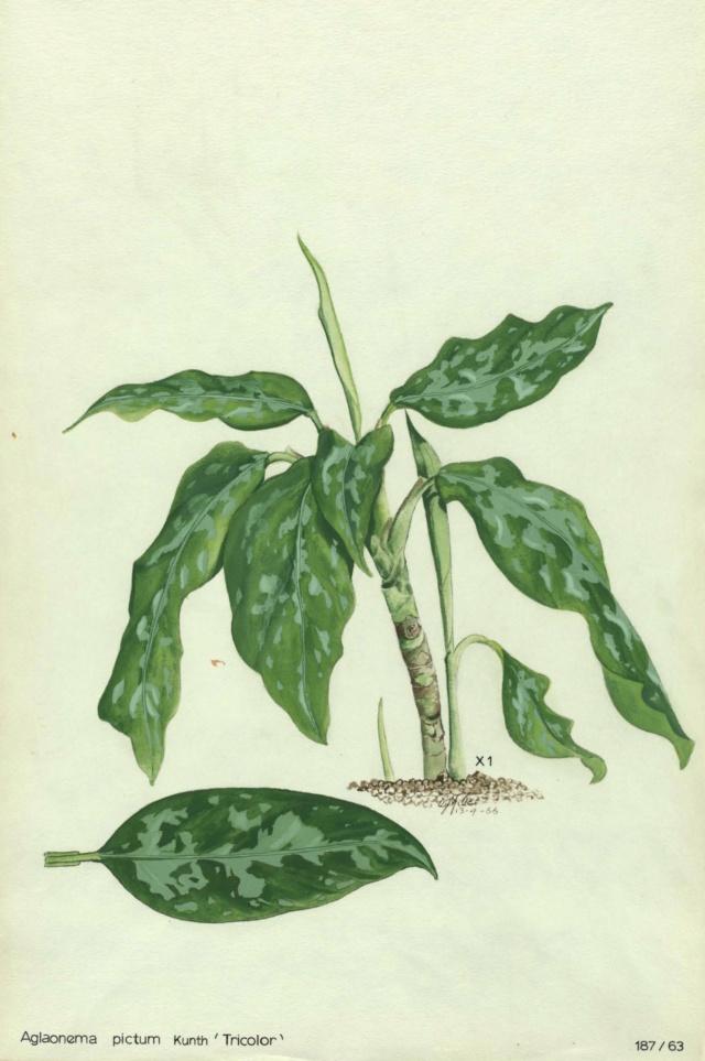 Aglaonema pictum 'Tricolor' Gee-0012