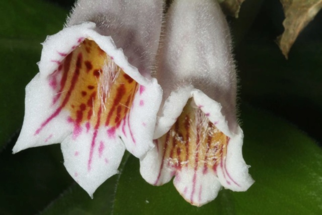 Hemiboea strigosa Hemibo10