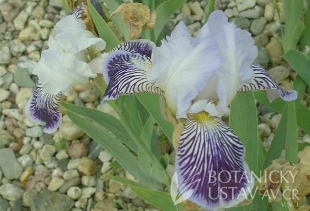 Iris amoena Iris-a10