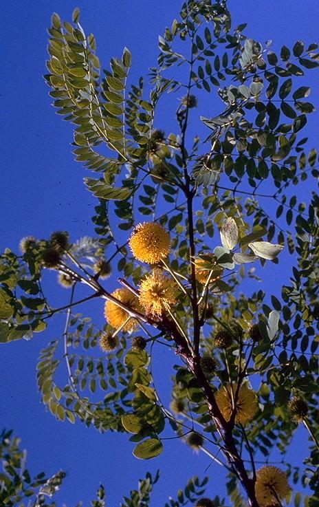 Leucaena retusa Leucae10