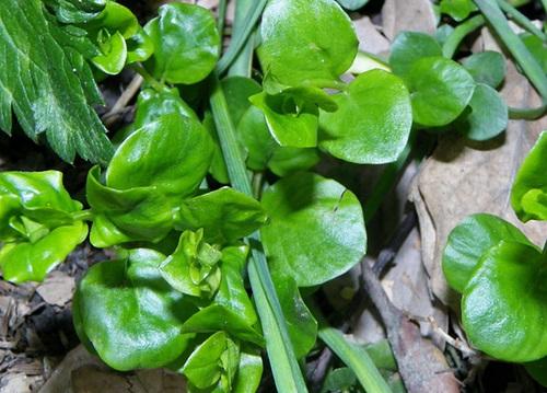 Lysimaque nummulaire - herbe aux écus [devinette] Lysima10