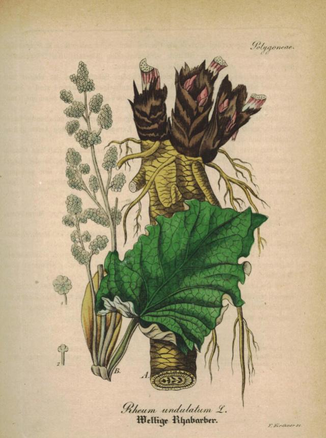 Rheum rhabarbarum - rhubarbe des jardins Rhubar10