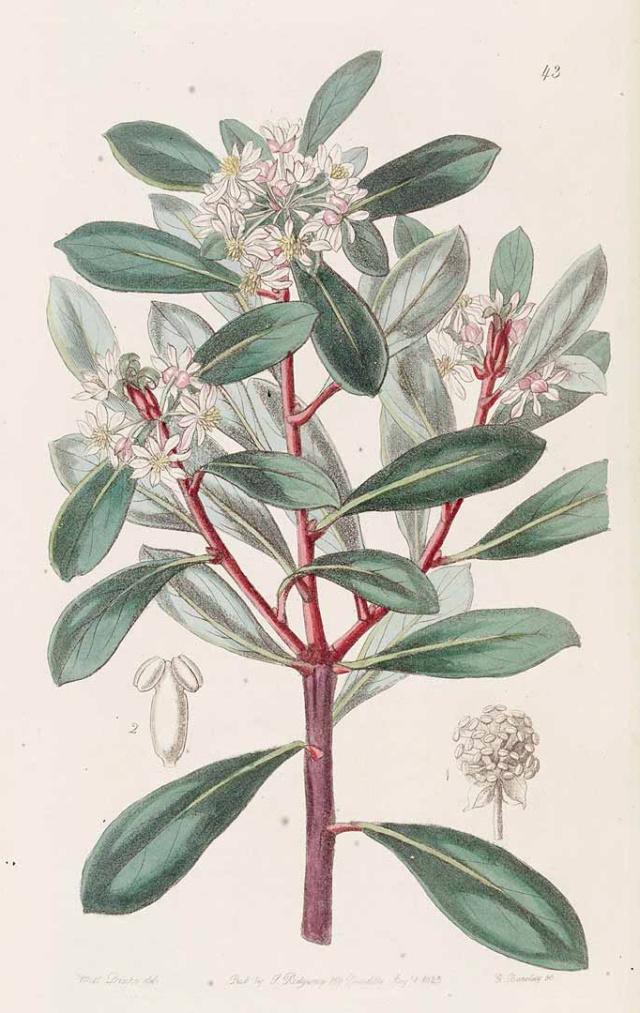 Tasmannia lanceolata - poivre de Tasmanie Tasman10