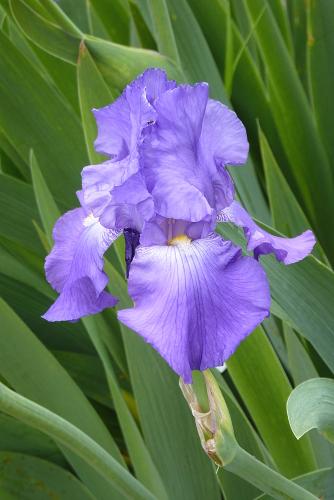 Iris 'Violet Harmony' - Edith Lowry 1948 Violet11