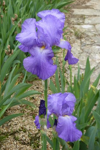 Iris 'Violet Harmony' - Edith Lowry 1948 Violet12