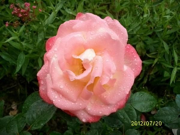 rosae Laéticia Casta L-cast10