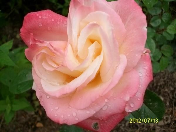 rosae Laéticia Casta Laetit10