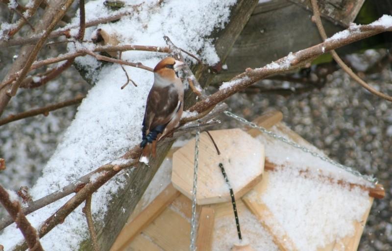 Les oiseaux de nos mangeoires Gros-b10