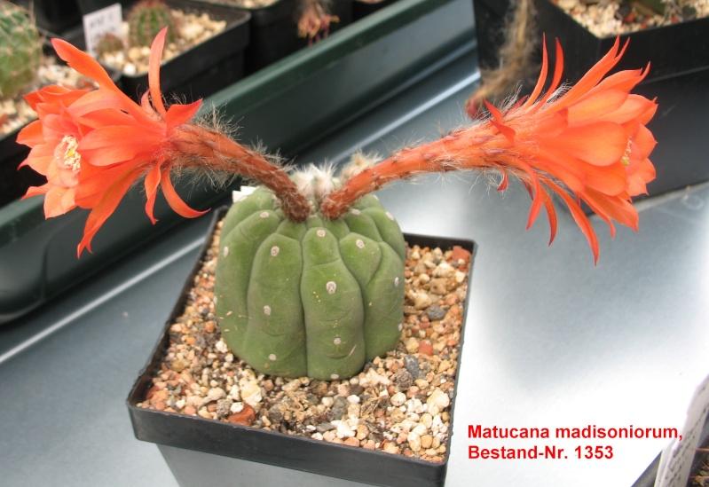 Matucana madisoniorum Matuca12