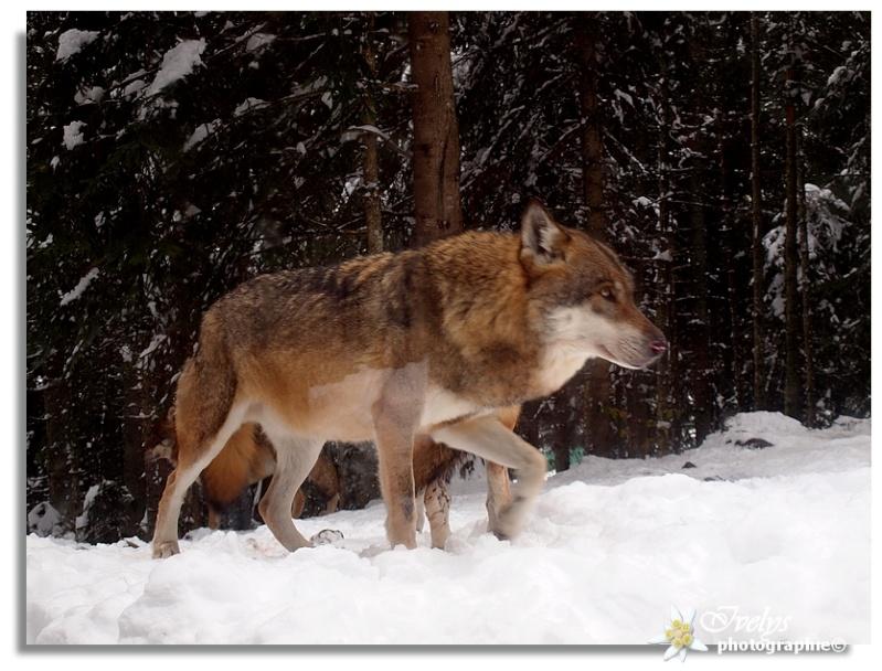 Loups du Parc Alpha (Saint Martin de Vésubie) Loup10