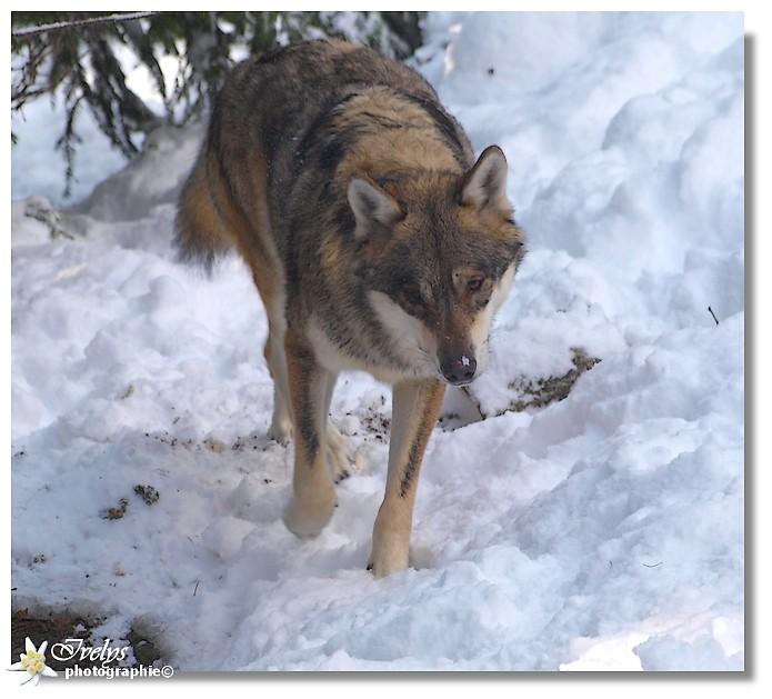 Loups du Parc Alpha (Saint Martin de Vésubie) Loup210