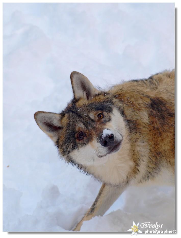 Loups du Parc Alpha (Saint Martin de Vésubie) Loup310