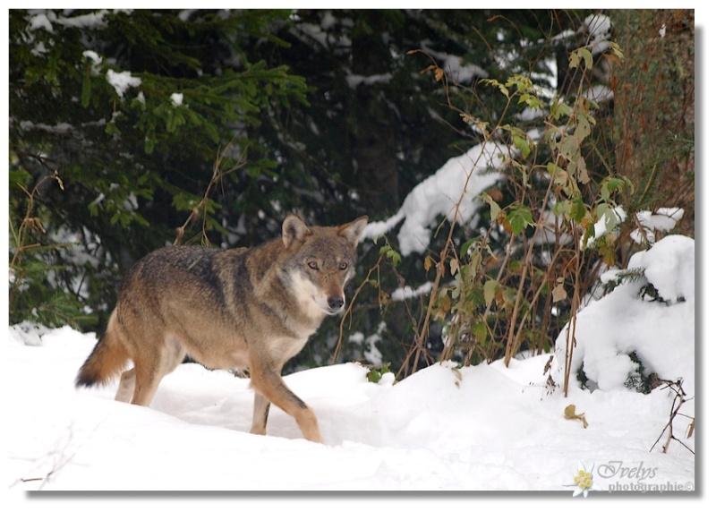 Loups du Parc Alpha (Saint Martin de Vésubie) Loup710