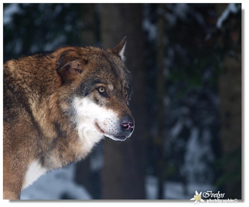 Loups du Parc Alpha (Saint Martin de Vésubie) Loup810