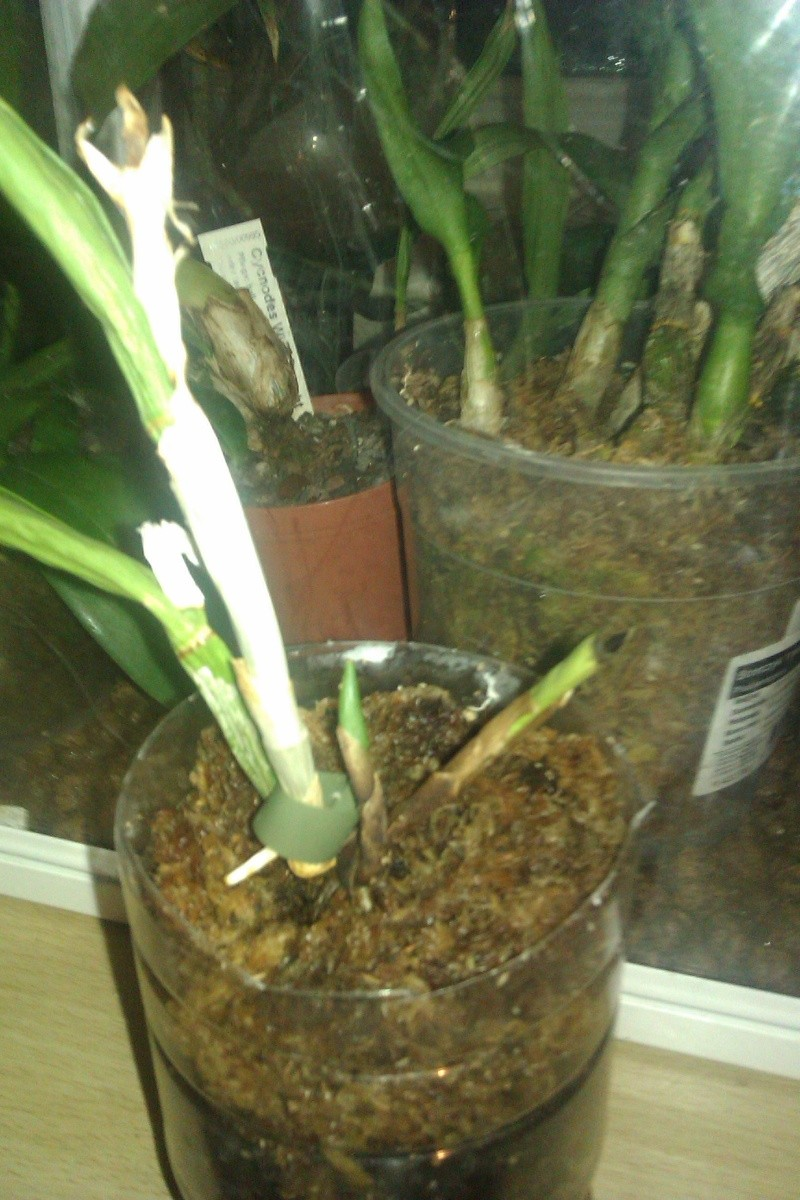 Uprawa wazonowa w keramzycie - Page 3 Imag0118