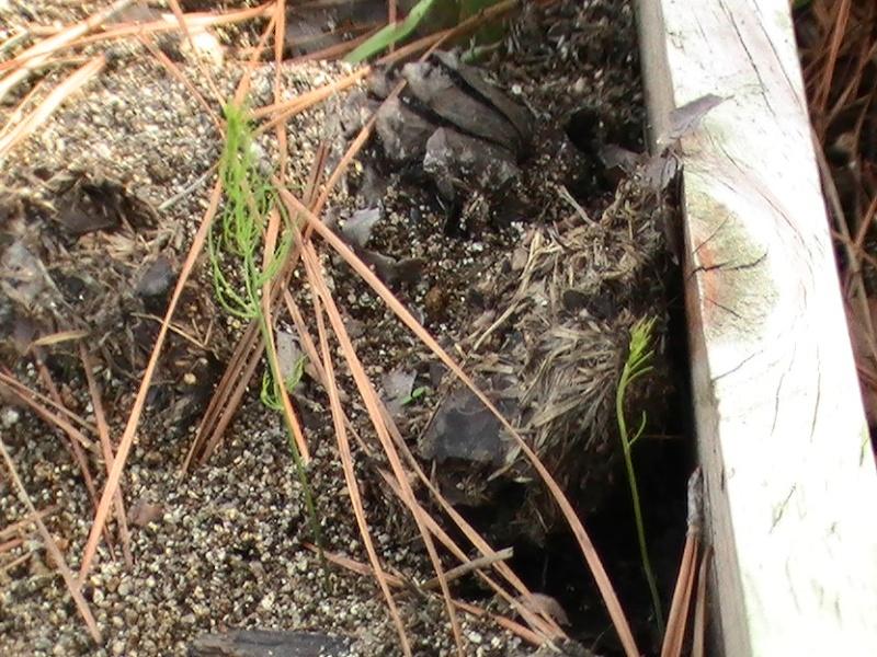 Asparagus Pic_0410