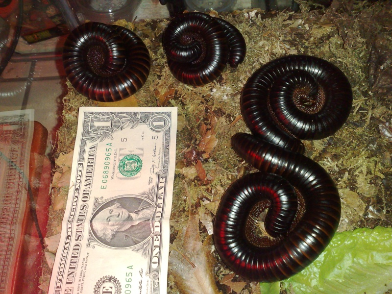 Shebeen's Giant Tropical (AGB?) Millipedes 01112011