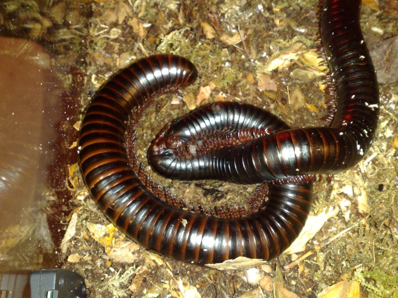 Shebeen's Giant Tropical (AGB?) Millipedes 31102010