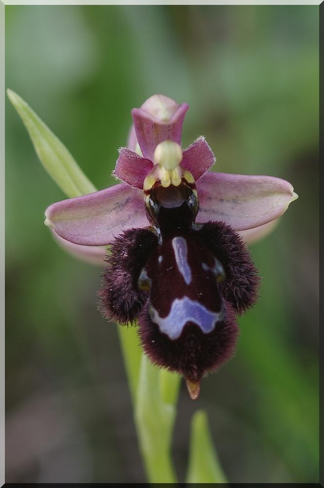 Ophrys bertolonii × speculum (Ophrys ×lumenii) Imgp0011