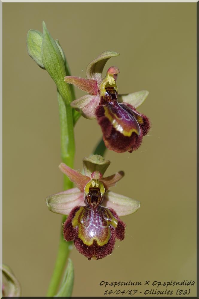 Ophrys speculum × splendida  Imgp0214