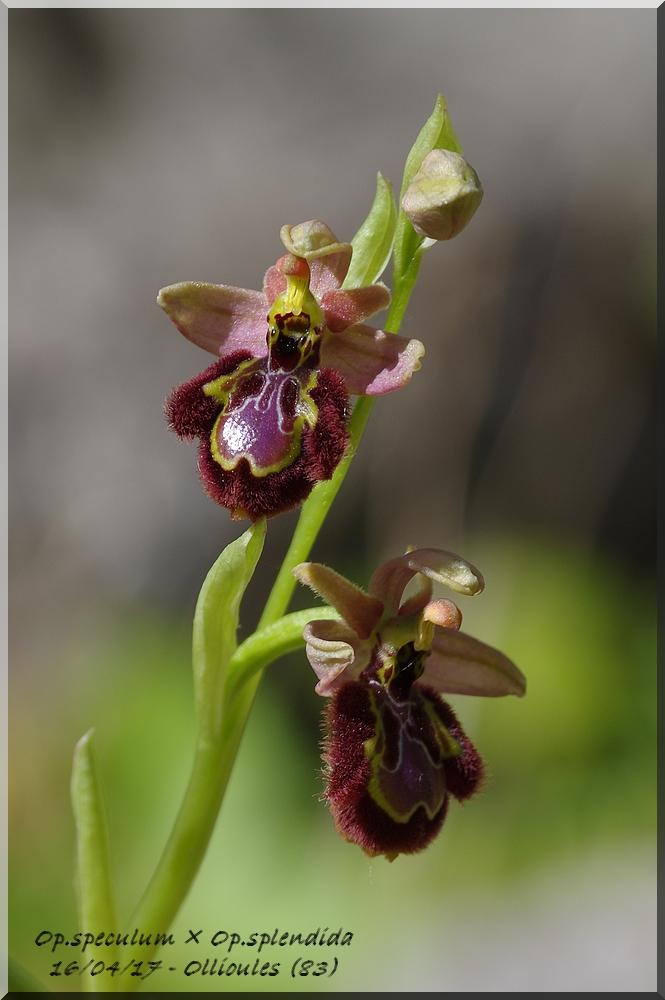 Ophrys speculum × splendida  Imgp0216