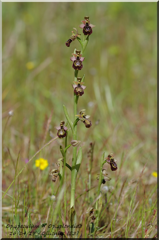 Ophrys speculum × splendida  Imgp0218