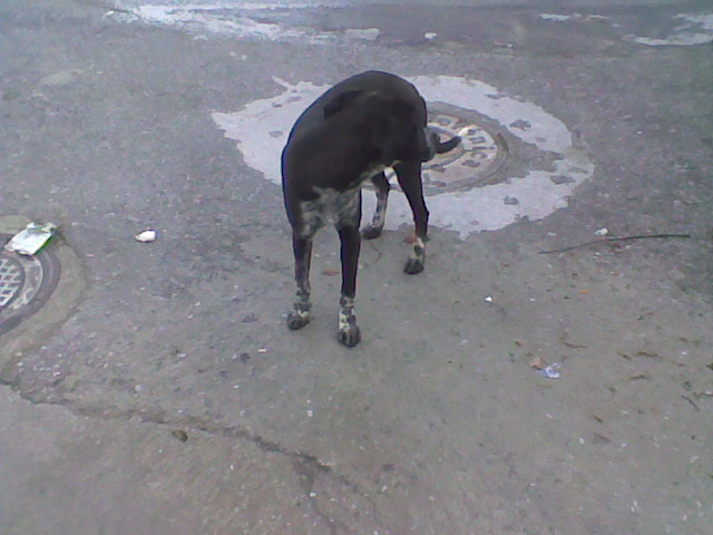 Two lovely dogs roaming Galera Stray110
