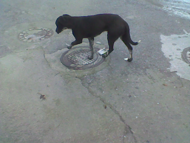 Two lovely dogs roaming Galera Stray210