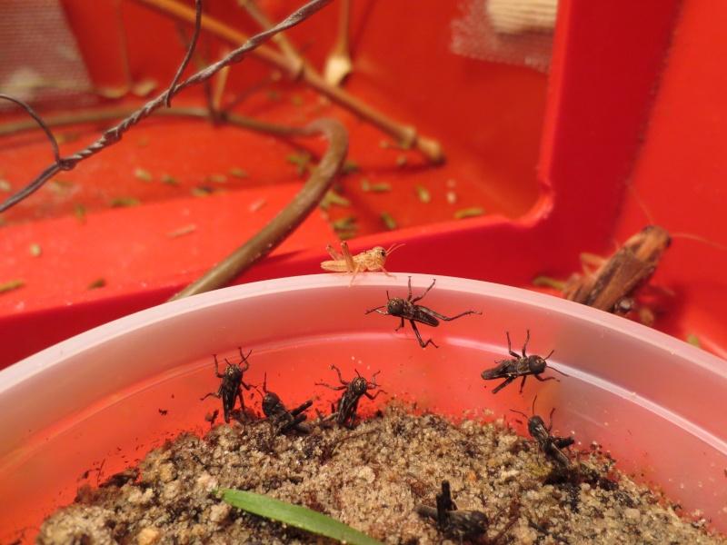Elevage de Criquets Migrateurs Photo_20