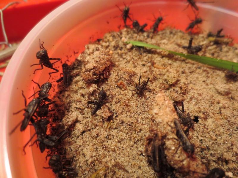 Elevage de Criquets Migrateurs Photo_21