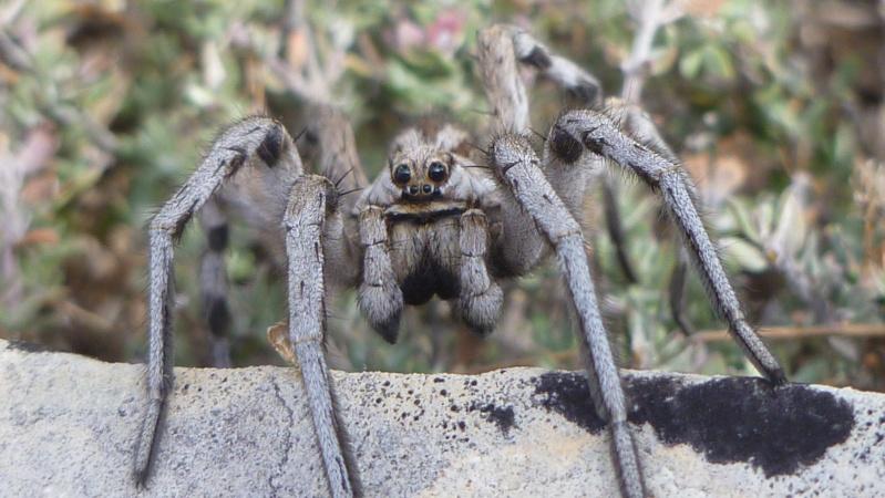 Une arachnide impressionante P1010810