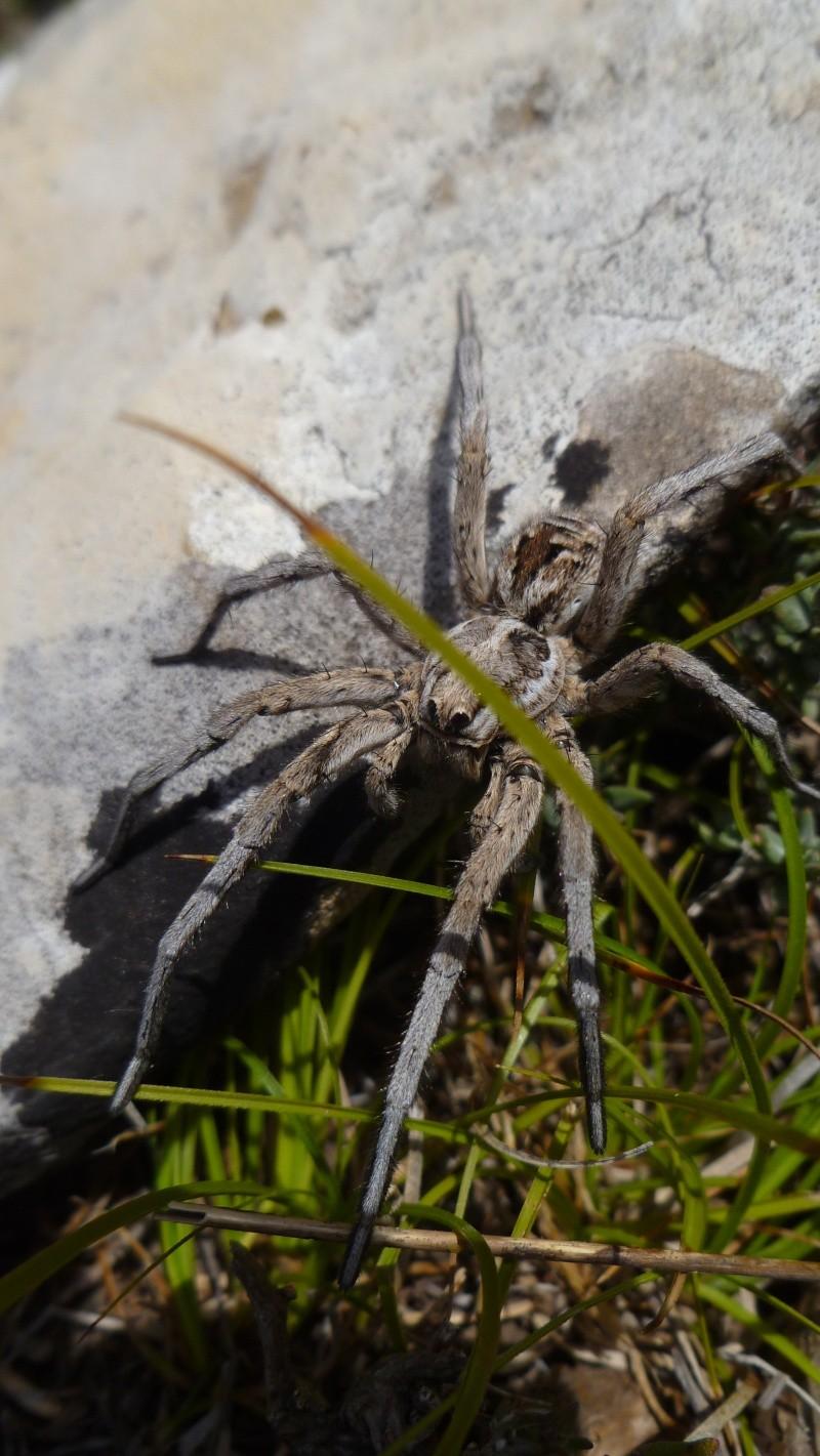 Une arachnide impressionante P1010811