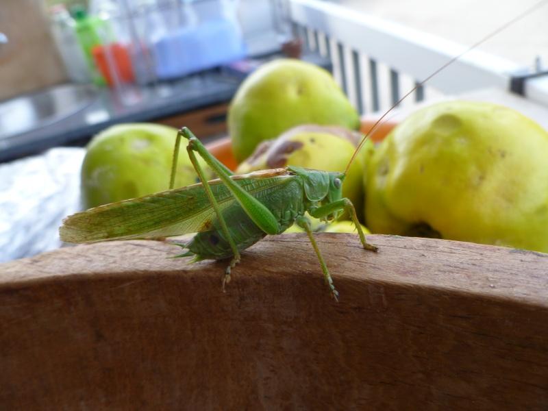 Une sauterelle qui aime les pommes! P1030810