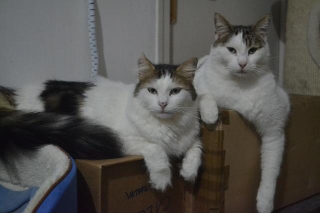 DIXIE - Tabby et Blanche - Née le 23/04/2015 - En FA dans le 80 Dsc_0130