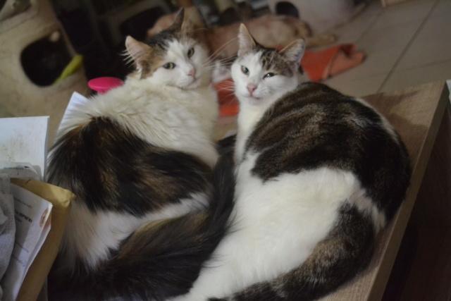 DIXIE - Tabby et Blanche - Née le 23/04/2015 - En FA dans le 80 Dsc_0329