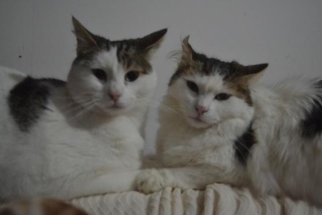 DIXIE - Tabby et Blanche - Née le 23/04/2015 - En FA dans le 80 Dsc_0330
