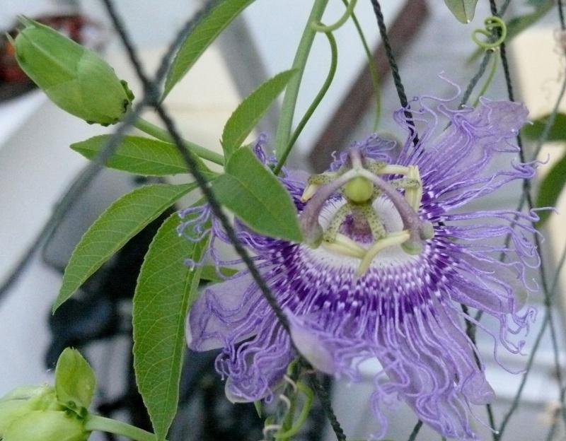 """Passiflora - Passionsblume - kleine """"Juwelen"""" - alles über Aussaat, Pflege, Vermehrung und natürlich Blütenbilder :) Passif10"""