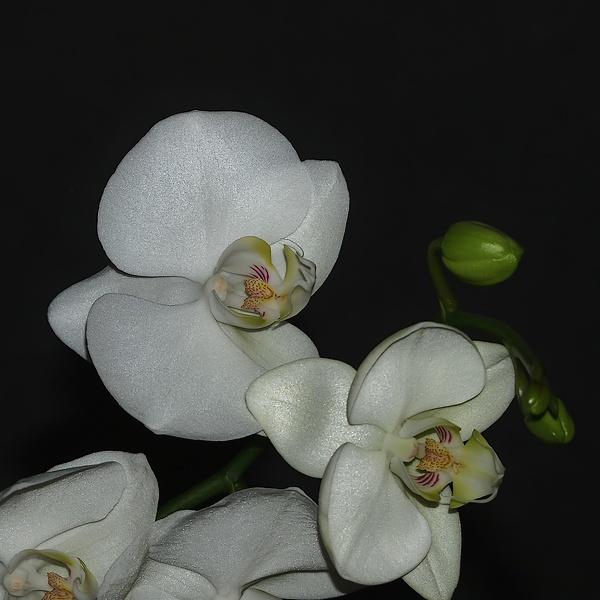 mon orchidée (ajout  8/01 ) P1086112