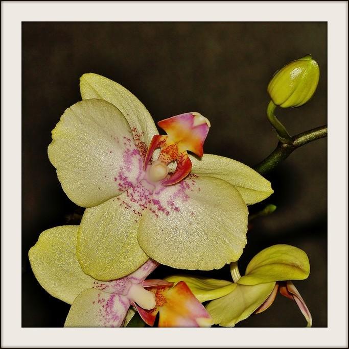 mon orchidée (ajout  8/01 ) Pc204910