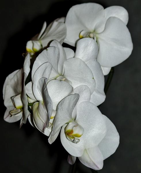 mon orchidée (ajout  8/01 ) Pc235110
