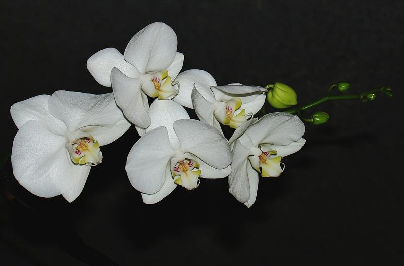 mon orchidée (ajout  8/01 ) Pc235111