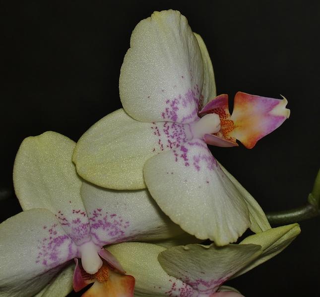 mon orchidée (ajout  8/01 ) Pc235112