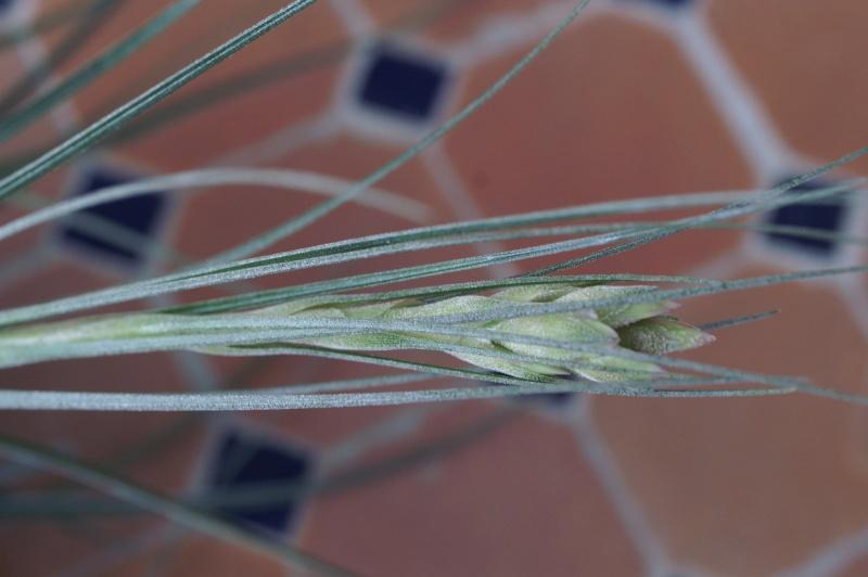 Tillandsia argentea? Pict3411