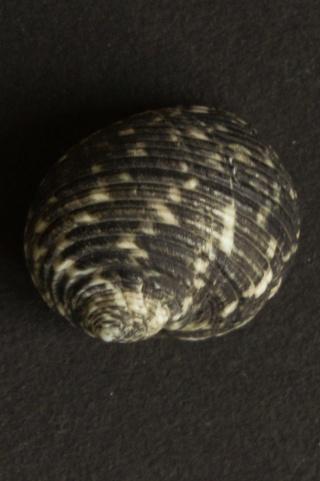 Nerita maxima - Gmelin, 1791 Dsc05710